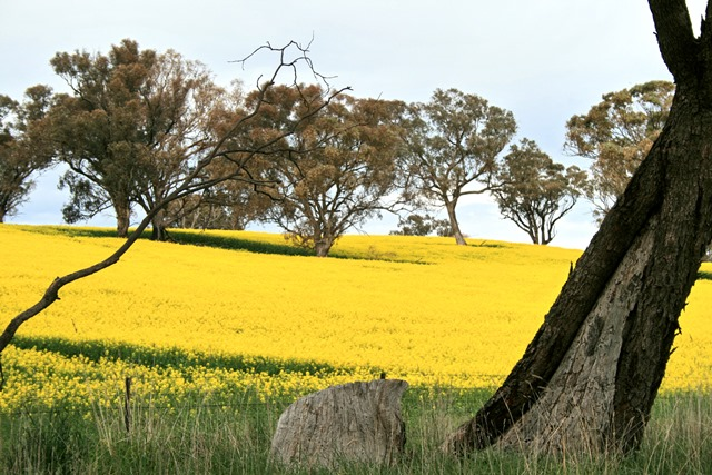 Canowindra region canola on track for boom harvest