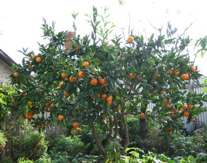 Green Thumb … Backyard Fruit Trees