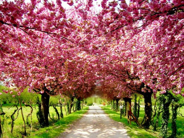 cherry-blossom-natural-pink