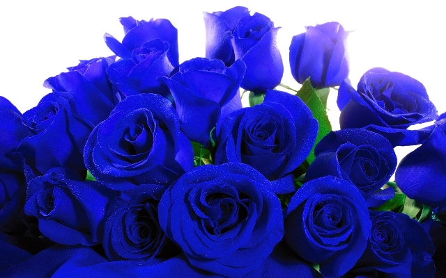 Blue-Roses
