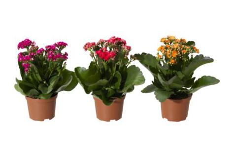 kalanchoe-calandiva-potted-plant