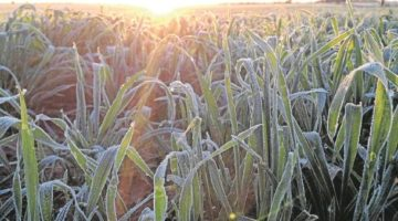 Frost Ahead For Crops